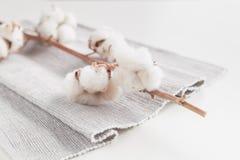 Ramo da flor da planta de algodão no fundo branco Imagem de Stock Royalty Free