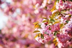 Ramo da flor de cerejeira com bokeh cor-de-rosa no fundo Fotos de Stock