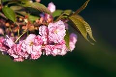Ramo da flor de cerejeira na obscuridade - fundo verde, fim acima Fotografia de Stock