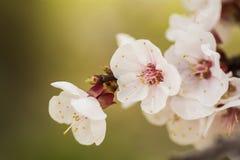 Ramo da flor do abricó Uma flor delicada da mola Imagens de Stock