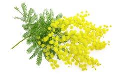 Ramo da flor ou da mimosa do Wattle, símbolo do 8 de março, interna das mulheres Fotos de Stock Royalty Free