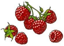 Ramo da framboesa com berrie imagem de stock royalty free