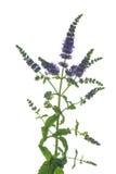 Ramo da hortelã com as folhas e as flores isoladas no fundo branco Imagens de Stock Royalty Free