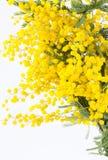 Ramo da mimosa de florescência Imagens de Stock Royalty Free