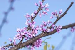 Ramo da mola com as flores cor-de-rosa contra o céu azul imagem de stock