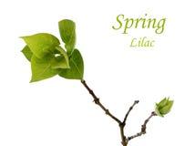 Ramo da mola com as folhas verdes do lilás no branco Fotografia de Stock Royalty Free