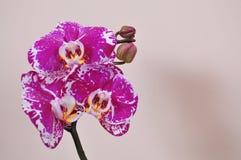 Ramo da orquídea cor-de-rosa Imagem de Stock