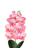 Ramo da orquídea de florescência Imagens de Stock Royalty Free