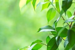 Ramo da planta do ficus no peitoril da janela Hortaliças vibrantes frescas do jardim no fundo Tranquilidade Harmony Environment fotografia de stock