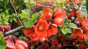 Ramo da rosa selvagem com as flores alaranjadas no amanhecer da mola no jardim fotografia de stock