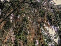 Ramo da ?rvore spruce com neve branca Inverno na cidade Tiro do close-up fotos de stock