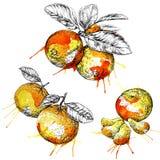 Ramo da tanjerina (citrino) com folhas Entregue o grupo botânico tirado com frutos, ramos e folhas Imagens de Stock Royalty Free