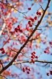Ramo das bagas em uma árvore Imagem do close-up do outono Fotografia de Stock Royalty Free