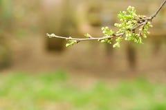Ramo das cerejas em um fundo verde Os primeiros dias da mola fotografia de stock royalty free