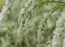 Ramo das flores brancas Fotos de Stock Royalty Free