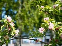 Ramo das flores da maçã Imagem de Stock Royalty Free