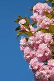 Ramo das flores de cerejeira cor-de-rosa contra o céu azul Jardim de florescência Flor da mola fotografia de stock