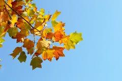 Ramo das folhas de outono contra o céu azul Fotografia de Stock Royalty Free
