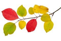 Ramo das folhas de outono da árvore de maçã c Fotografia de Stock