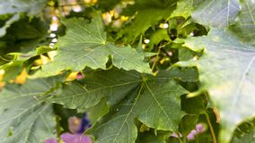 Ramo das folhas verdes frescas da folha do bordo fotografia de stock