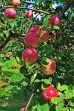 Ramo das maçãs Foto de Stock Royalty Free