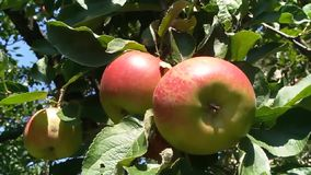 Ramo das maçãs no jardim filme