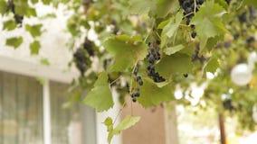 Ramo das uvas que balançam no vento vídeos de arquivo