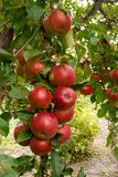 Ramo de árvore de Apple colheita fotografia de stock royalty free