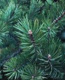 Ramo de árvore azul do abeto fotografia de stock royalty free