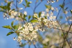 Ramo de árvore bonito da cereja com as flores brancas no close up da luz solar imagem de stock