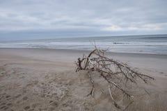 Ramo de árvore caído na praia Fotografia de Stock Royalty Free