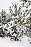 Ramo de árvore coberto de neve no por do sol Imagem de Stock Royalty Free
