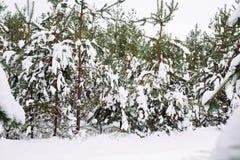 Ramo de árvore coberto de neve no por do sol Foto de Stock