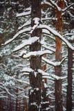 Ramo de árvore coberto de neve no por do sol Fotos de Stock