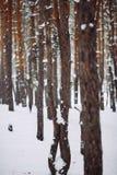 Ramo de árvore coberto de neve no por do sol Fotos de Stock Royalty Free