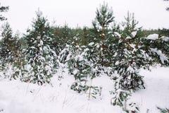 Ramo de árvore coberto de neve no por do sol Fotografia de Stock Royalty Free