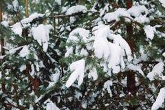 Ramo de árvore coberto de neve no por do sol Foto de Stock Royalty Free