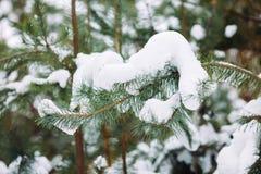 Ramo de árvore coberto de neve no por do sol Imagem de Stock