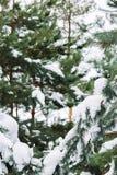 Ramo de árvore coberto de neve no por do sol Fotografia de Stock