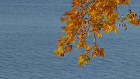 Ramo de árvore com as folhas de outono coloridas sobre a água quieta do lago video estoque