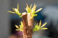 Ramo de árvore com botão, tiro verde embrionário da licença Sumário cinzento Imagens de Stock