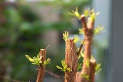 Ramo de árvore com botão, tiro verde embrionário da licença Sumário cinzento Fotos de Stock Royalty Free