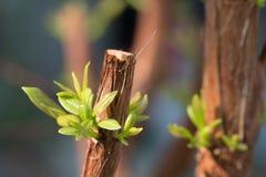 Ramo de árvore com botão, tiro verde embrionário da licença Sumário cinzento Imagem de Stock