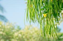 Ramo de árvore com flor amarela e as vagens longas Tecoma Stans imagem de stock royalty free