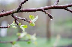 Ramo de árvore com o close up pequeno das folhas com orvalho imagens de stock