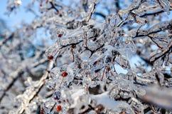 Ramo de árvore congelado com bagas vermelhas 3 imagens de stock