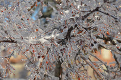 Ramo de árvore congelado com bagas vermelhas imagem de stock