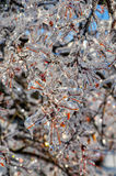 Ramo de árvore congelado com bagas vermelhas - modo de retrato foto de stock royalty free