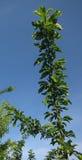Ramo de árvore da ameixa Fotos de Stock Royalty Free