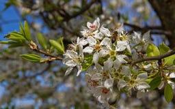 Ramo de árvore da pera com flores e mosca Imagens de Stock